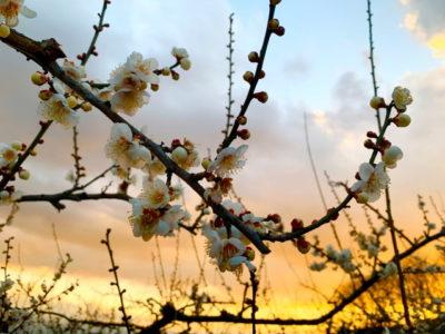 2月の初めですがもう梅の花が咲いていました